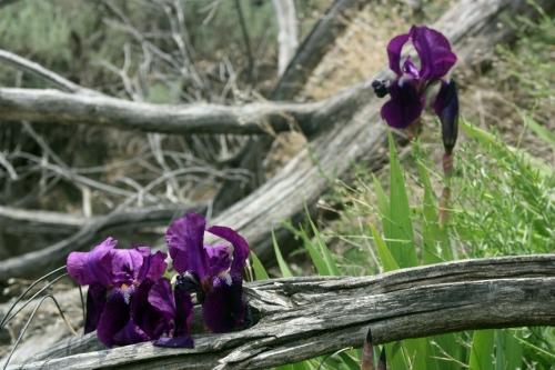 Wild irises at Dividend