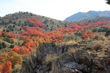 Canyon of Fire: Maples in the East Tintic Mountains