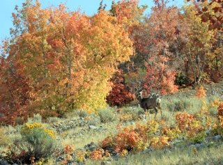 Doe a Deer: A mule deer  doe in the East Tintic Mountains