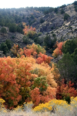 Maples in the fall near Eureka, Utah - with junipers and rabbit brush.
