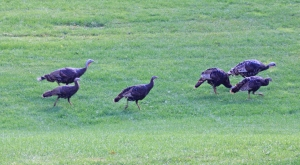 Wild turkeys at Timp Lodge near Sundance. And I'm not talking about students, either.