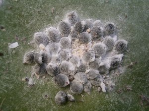 Cochineal insects living on large cacti. The female insects are sessile, attaching themselves permanently to the cactus and extruding a waxy coating to prevent dehydration. The carminic acid helps to ward off predators.
