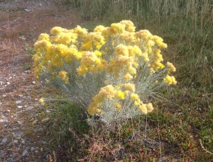 Rabbitbrush, Ericameria nauseosa. The flowers make an excellent yellow dye.