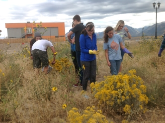 collecting-rabbitbrush