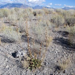woad-plant-2