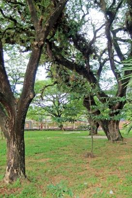 Banjarmasin trees