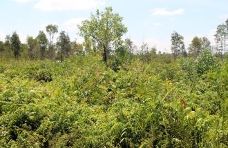 Galum trees