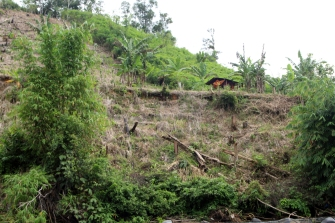 Cassava slash and burn