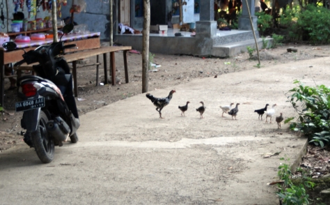 Chickens crossing road
