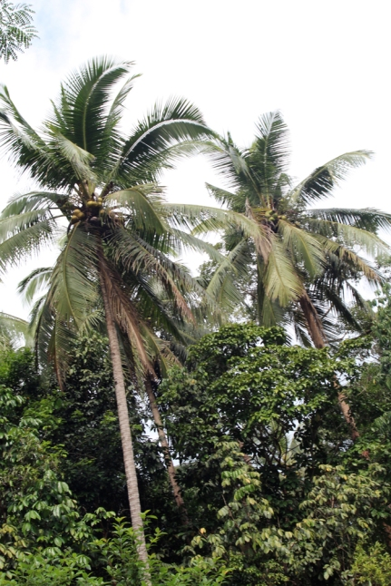 Coconut canopy