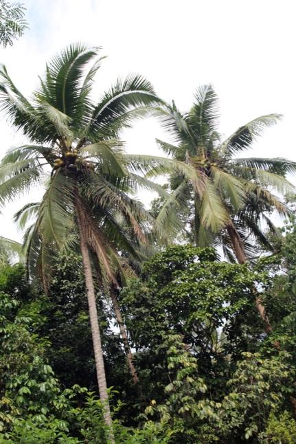 Coconut canopy