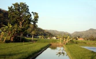 Evening rice field