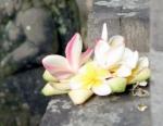 Fragipani blossoms