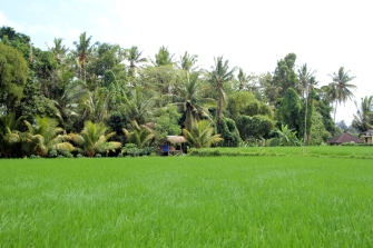 Lush green rice field