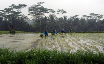 Planting rice in the rain