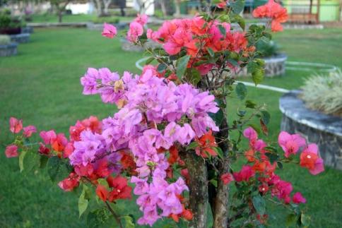 Variable color bougainvillea