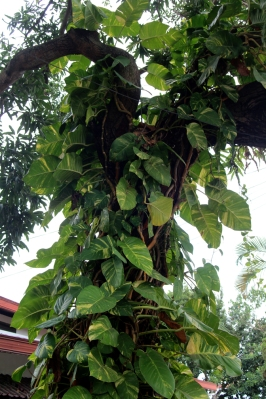Vine covered tree